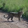 Serengeti - Mamma leopardo e i suoi cuccioli