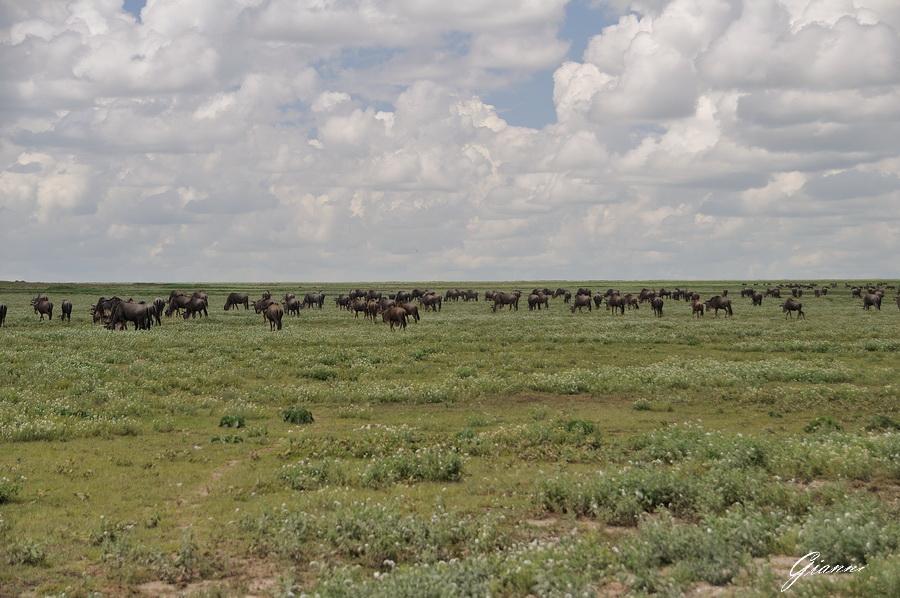 La migrazione degli gnu