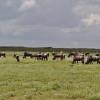 Serengeti - Mandria di gnu