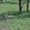 Serengeti - Ghepardi