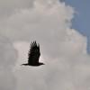 Serengeti - Aquila