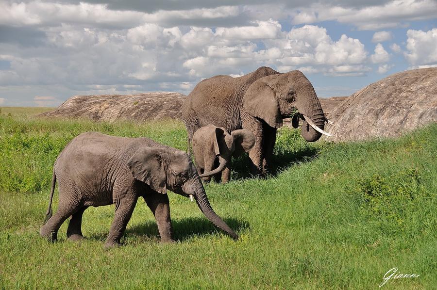 Elefanti al pascolo