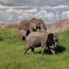 Serengeti - Elefanti al pascolo
