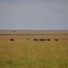 Serengeti - Bufali