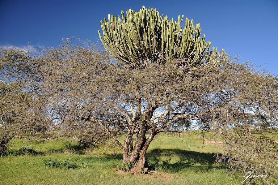 Acacia e Euphorbia
