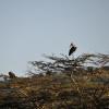 Serengeti - Cicogna