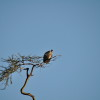 Serengeti - Avvoltoio