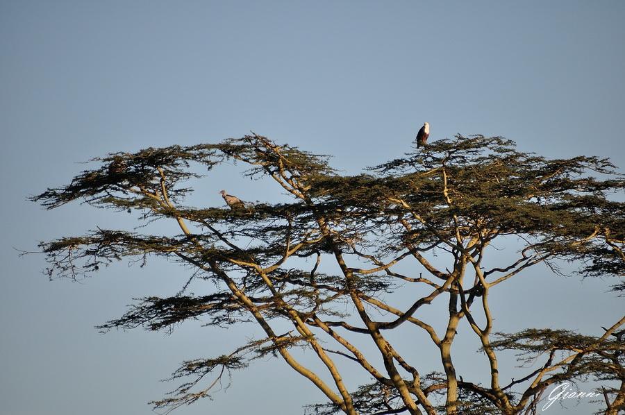 Aquila e Avvoltoio
