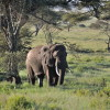 Serengeti - Elefanti