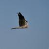 Serengeti - Falco