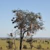 Serengeti - Nidi di uccelli tessitori
