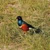 Serengeti - Uccello tessitore
