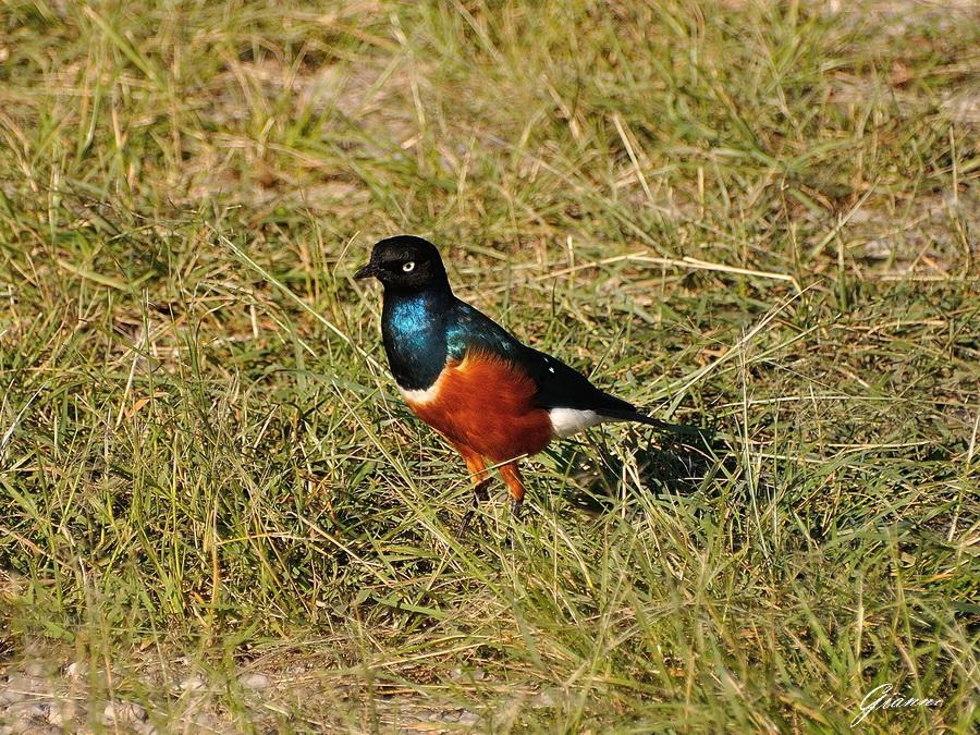 Uccello tessitore