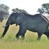 Serengeti - Elefante mnaschio