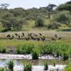 Serengeti - Marabu