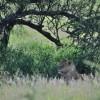 Serengeti - Leonessa