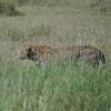 Un altro leopardo