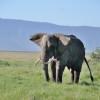 Elefante maschio