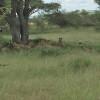 Serengeti - Branco di leoni