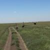 Serengeti - Struzzi