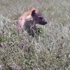 Serengeti - Iena
