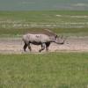 Ngoro ngoro - Rinoceronte nero