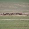 Ngoro ngoro - Le mandrie dei Masai