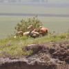 Ngoro ngoro - Leone maschio spaparanzato al sole