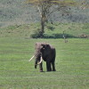 Ngoro ngoro - Elefante