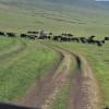 Ngoro ngoro - Mandria di bufali