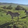 Ngoro ngoro - Zebre