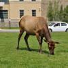 Elk a Mammoth Hot Springs