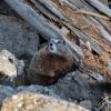 Yellowstone - Marmotta
