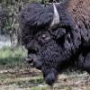 Bisonte maschio