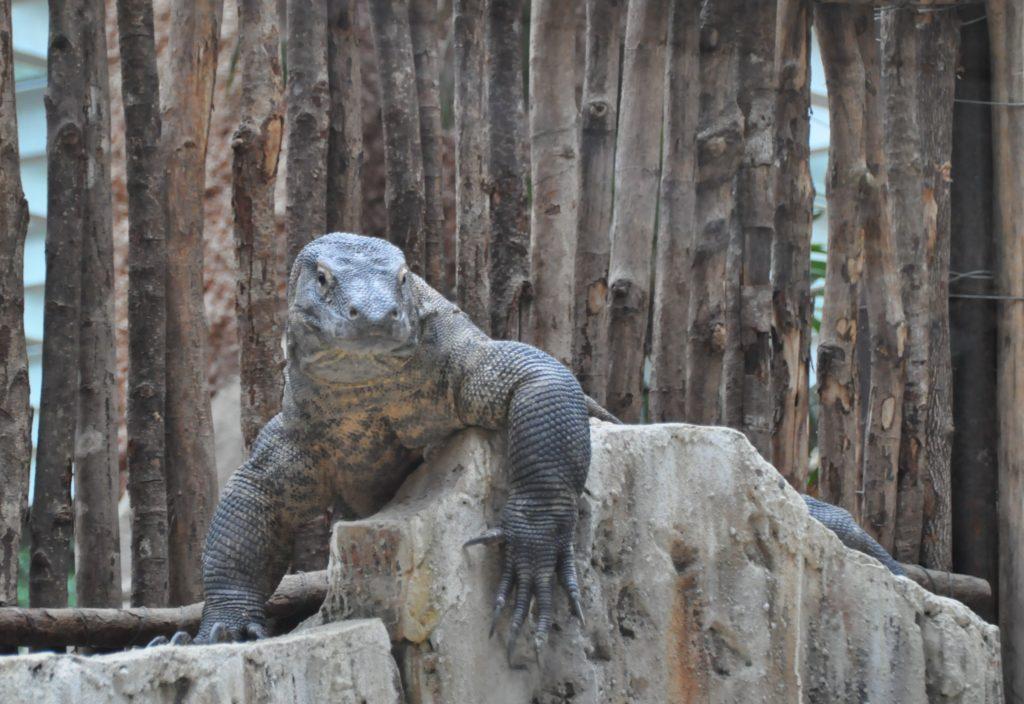 Drago di Komodo
