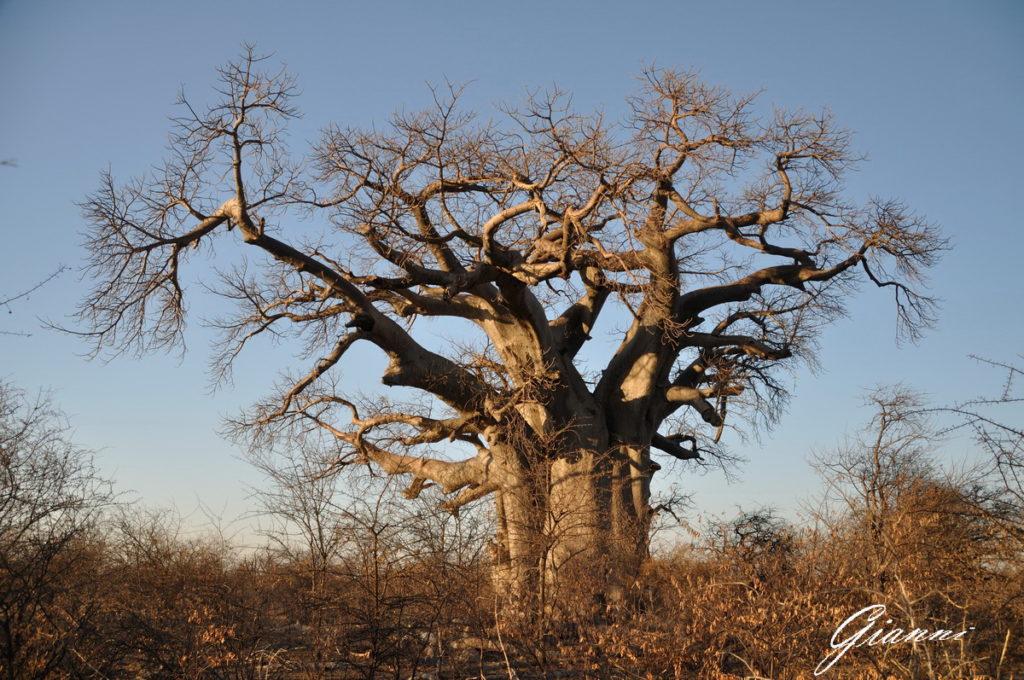 Un baobab di circa 3000 anni...