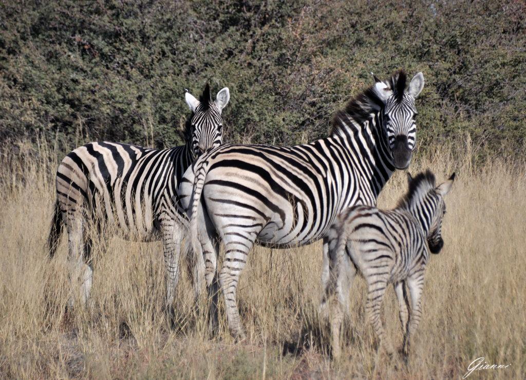 Famigliola di zebre