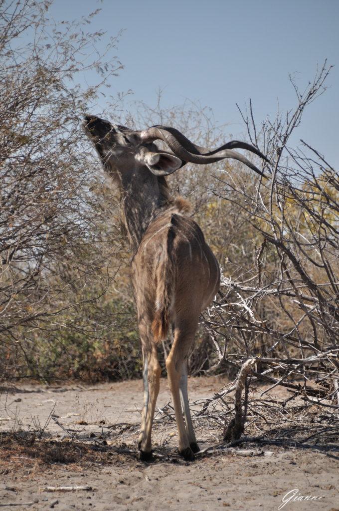 Kudu maggiore