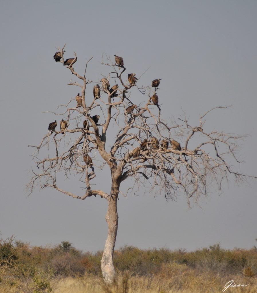 Avvoltoi in attesa