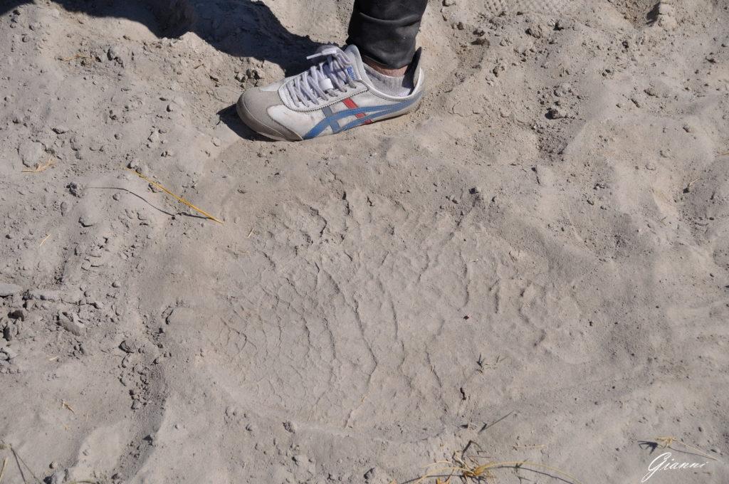Impronta di elefante e impronta umana...