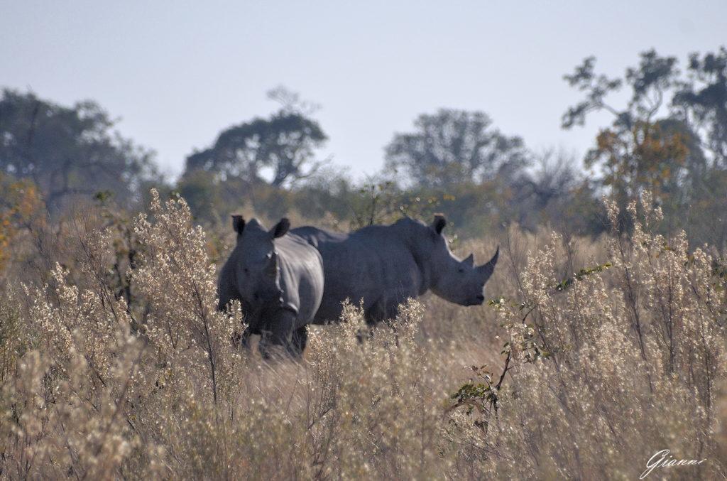 Coppia di rinoceronti