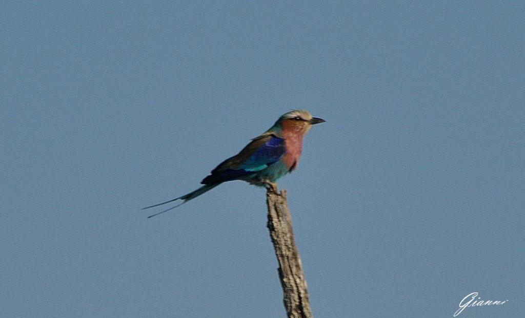 Uccellino multicolor