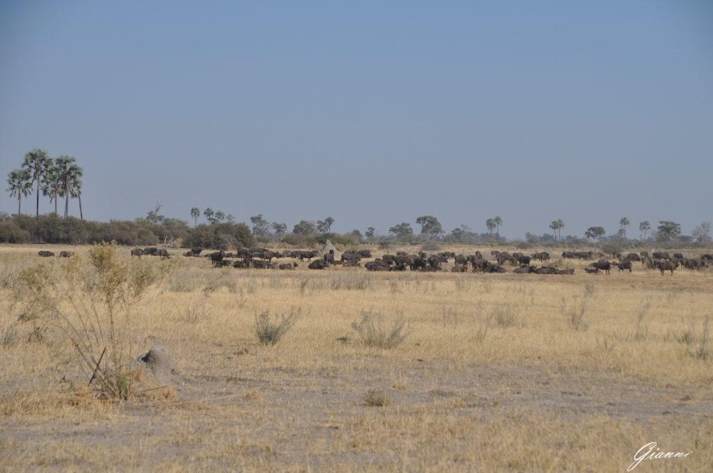 Bufali al pascolo