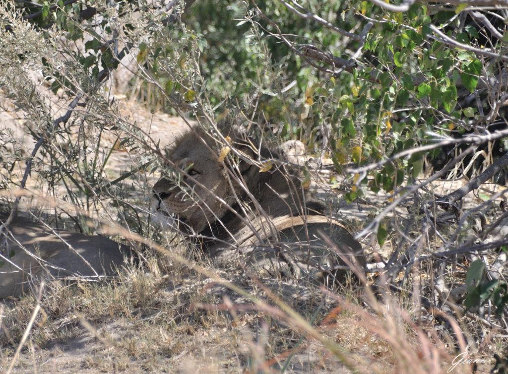 Maschio di leone