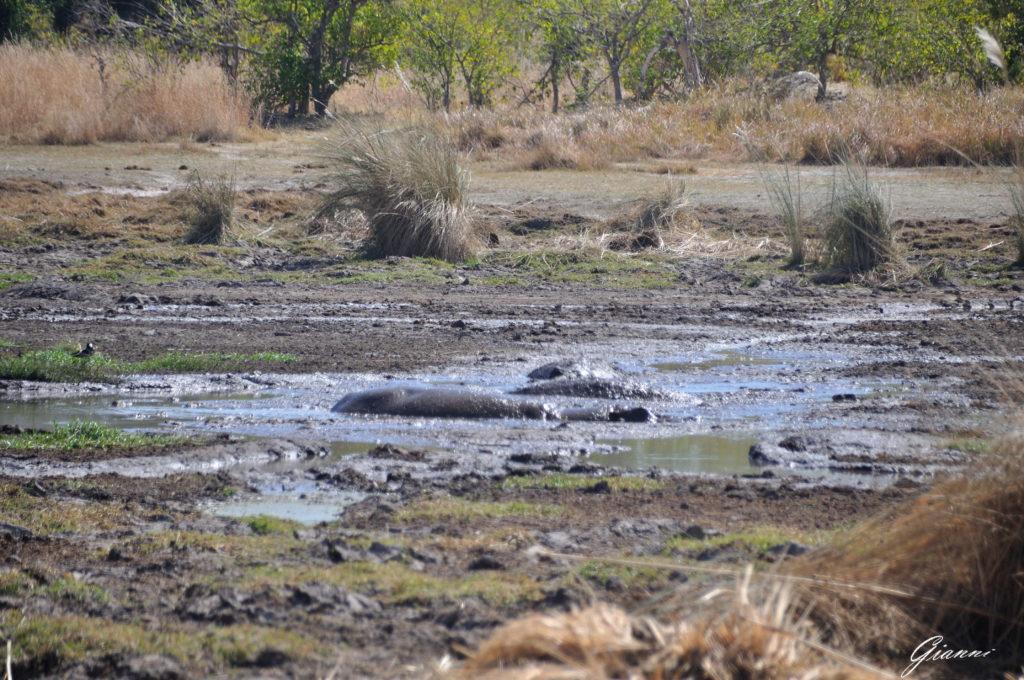 Ippopotami nel fango