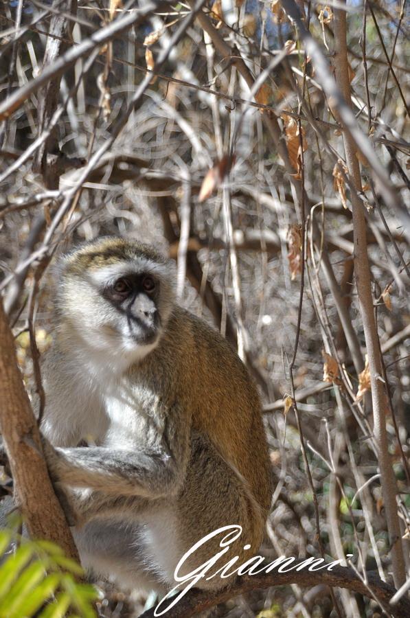 Scimmia locale