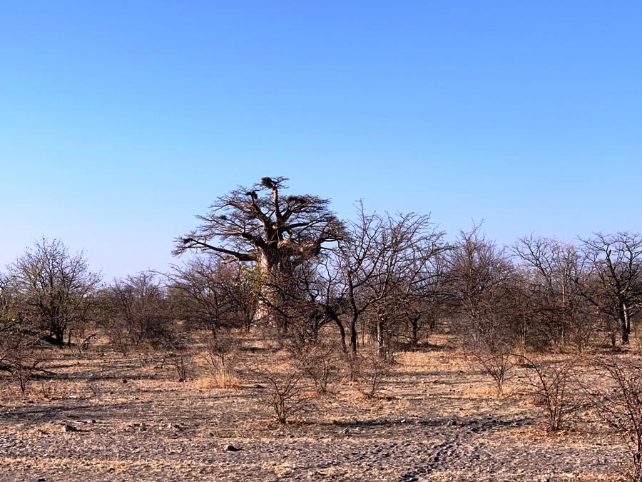 Baobab in Botswana