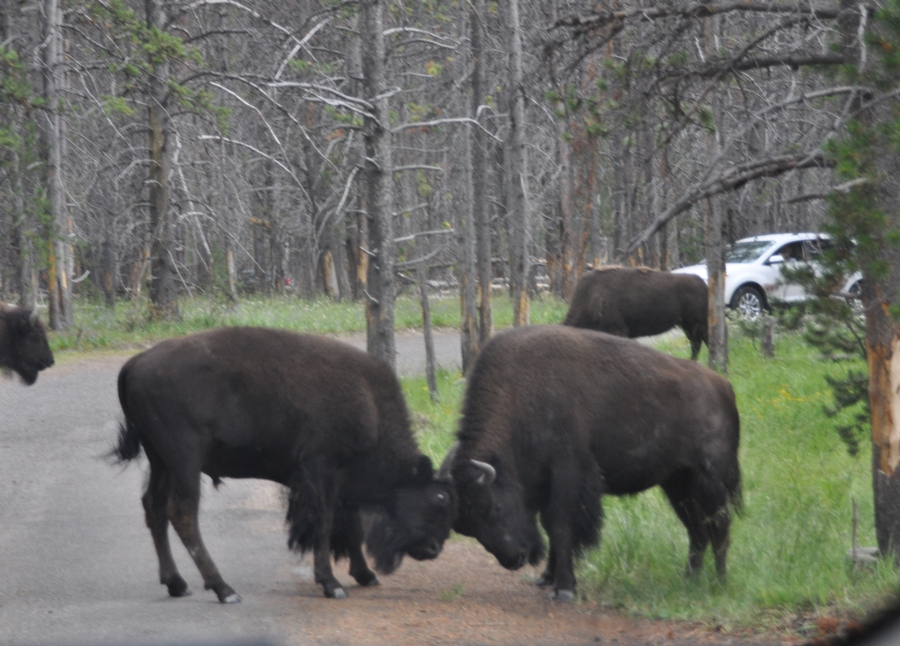 Bisonti a Yellowstone