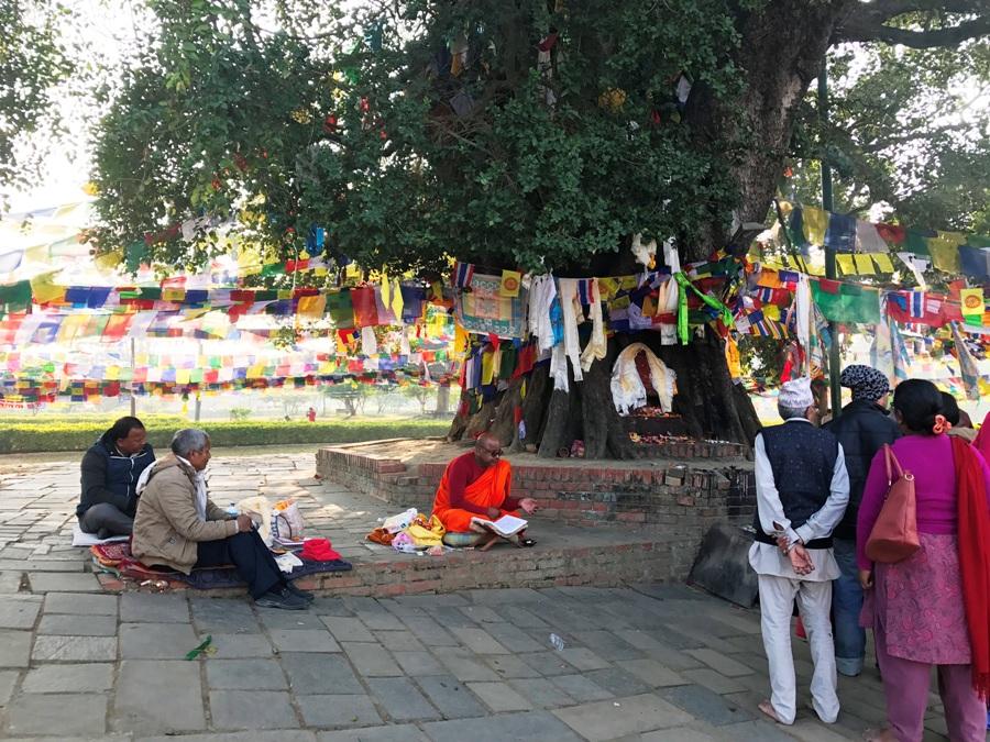 Bodhi Tree a Lumbini