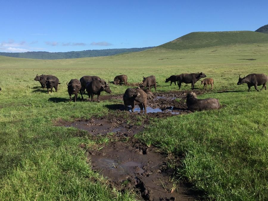 Bufali a Ngorongoro
